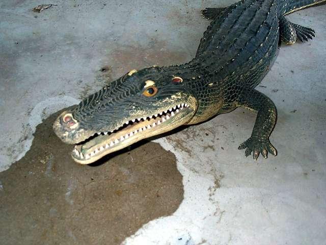 Norman the Alligator!