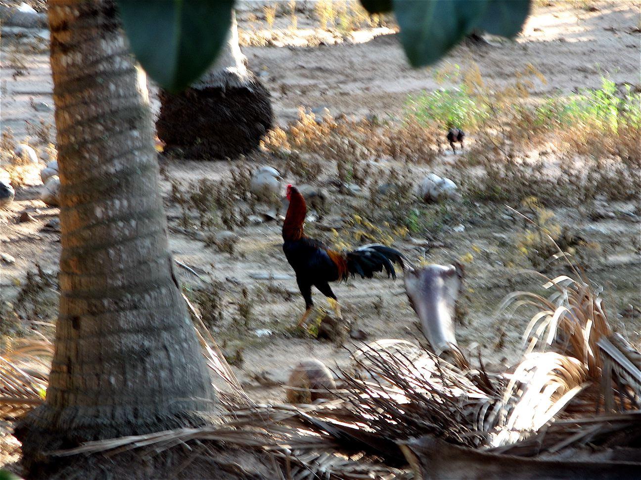Thai cock (hello, google!)